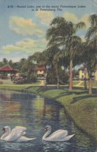 Florida St Petersburg White Swans On Round Lake 1950