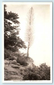 RPPC MT WILSON, CA California  YUCCA in BLOOM c1930s Los Angeles County Postcard