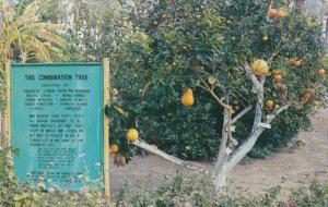 California Indio Sniff's Date Garden Combination Tree