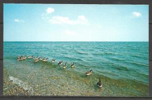 Massachusetts, Cape Cod - Canadian Geese - [MA-354]