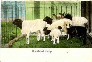 Blackhead Sheep