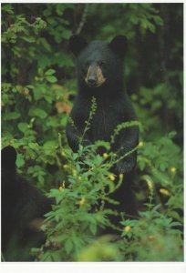 Postcard North American Wildlife Young Black Bear Unposted