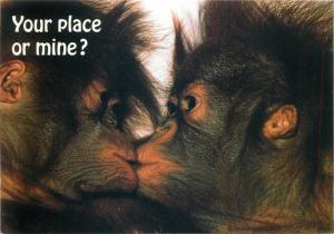 Kissing chimpanzees   Your place or mine ? postcard