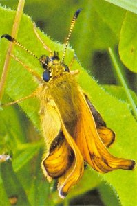 Fine Art Quality Postcard, Large Skipper Butterfly Photo by Ian Rabjohns CD9