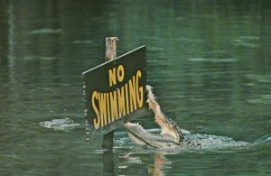 Alligator , Florida , 1950-60s ; No Swimming