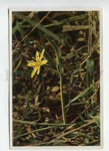 428075 GERMANY Flower Gagea lutea Vintage Sammelwerk Tobacco Card w/ ADVERTISING
