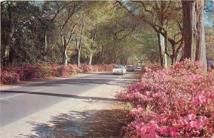 Charleston South Carolina~Hampton Park~Springtime Drive~Magnolias~1950s Cars