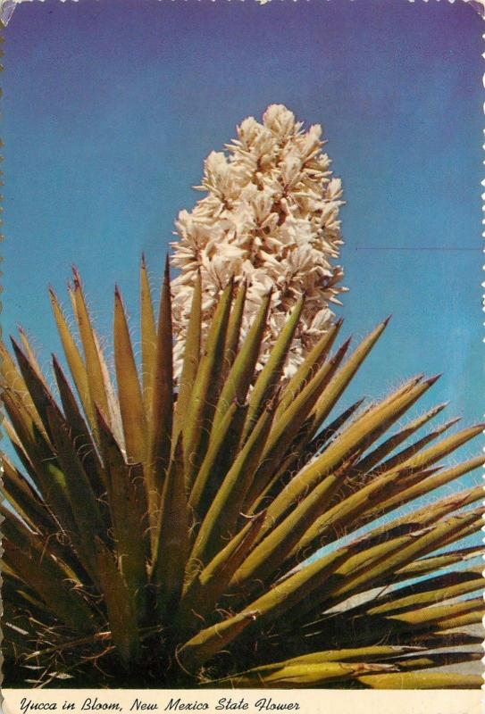 New Mexico state flower Yucca in Bloom