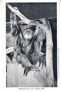 Orangutan      St Louis Zoo