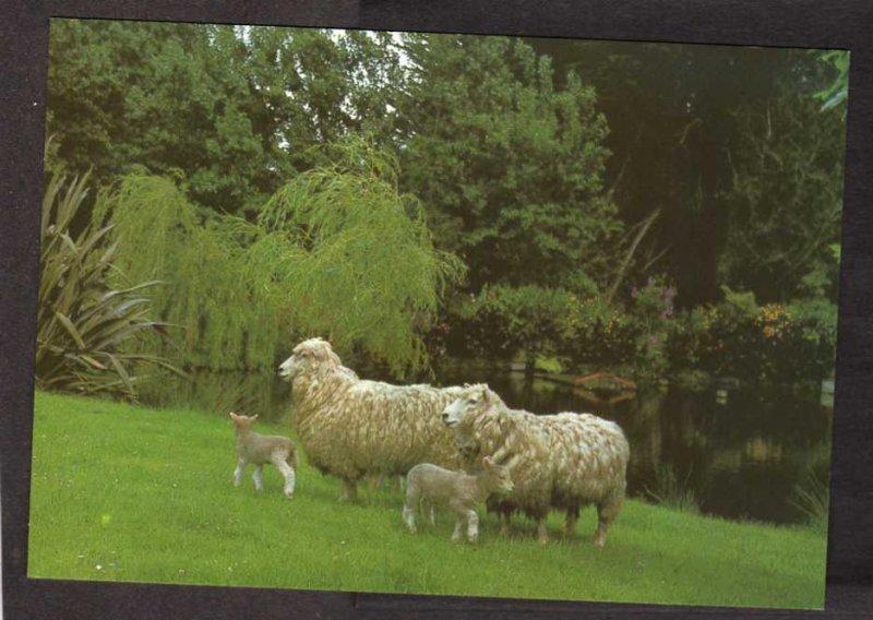 NZ Ewes Lambs Auroa Taranaki New Zealand Postcard Farm Animals Lamb