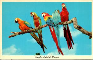 Florida Miami Colorful Macaws At Parrot Jungle 1965
