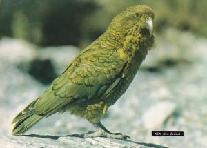 Kea Nestor Notobalis South Island New Zealand Bird Postcard