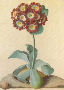 Duke of Cumberland Primula Auricula by G D Ehret Victoria and Albert Museum
