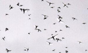 Mataranka Australia Flying Foxes Daredevil Stunt Men Photo Postcard
