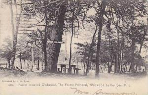 Forest crowned wildwood, The Forest Primeval, Wildwood by the Sea, New Jersey...