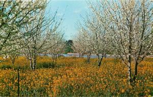 Prune Orchard in Blossom Redwood Empire California CA Postcard