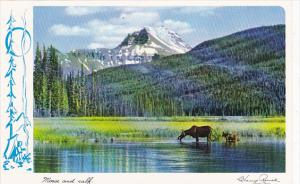 Canada Moose and Calf Rocky Mountains British Clumbia