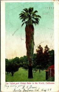 Tallest Et Plus Vieux Paume IN The World Santa Barbara Ca Udb Carte Postale 1905