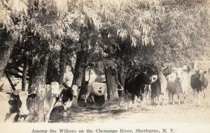 RP, SHERBURNE , New York, 1910-30s ; Cows in willows, Chenango River