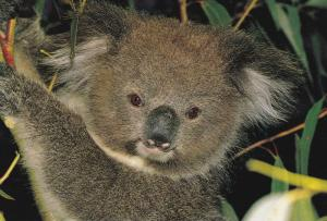 Close Up View of Koala Bear, Native to Australia