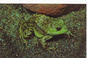 Green Bullfrog Rana catesbeiana
