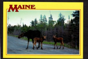 ME Cow Moose with twin Calves Maine Postcard Animals