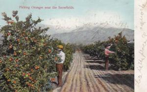 California Picking Oranges Near The Snowfields 1910