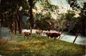 Maine Portland Cows At Presumpscot River Near Riverton Park 1908
