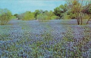 Bluebonnet San Antonio Texas