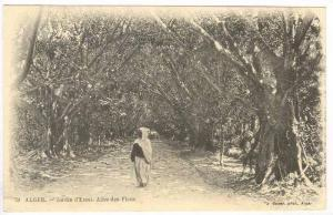 Alger - Jardin d'Essai. Allee des Ficus, 00-10s