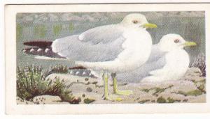 Trade Card Brooke Bond Tea Wild Birds in Britain 45 Common Gull