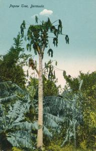 Papaw or PawPaw Tree, Bermuda - DB