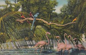 Florida Miami Colorful Flamingos and Macaws At Parrot Jungle Curteich