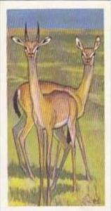 Brooke Bond Vintage Trade Card Wildlife In Danger 1963 No 23 Dibitag Or Clark...