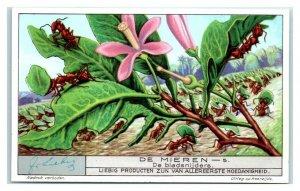 1932 Leaf Cutters, Ants, Liebig Belgian Trade Card *VT32A