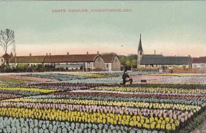 Omstr, Haarlem, Hyacinthenvelden, North Holland, Netherlands, 00-10s