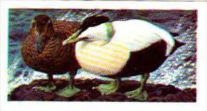 Brooke Bond Tea Trade Card Wild Birds In Britain No 38 Eider