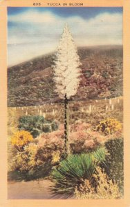 Postcard Yucca in Bloom California