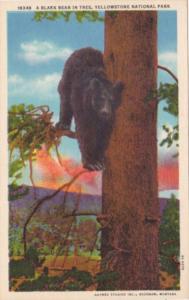 Black Bear In A Tree Yellowstone National Park Curteich