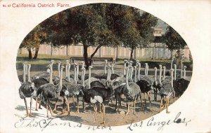 California Ostrich Farm Near Los Angeles, CA, Early Postcard, Used in 1908