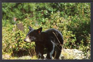 Black Bear,GreatSmoky  Mountains