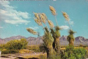 Cactus Spanish Bayonet or Desert Yucca