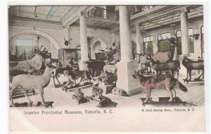 Provincial Museum Interior Deer Elk Wolf Victoria BC Canada 1905c postcard