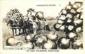 Horse-Drawn Carriage Harvesting Onions at East Kildonan Exaggeration Real Photo