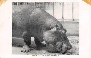 Hippopotamus Rosie New York, USA 1953