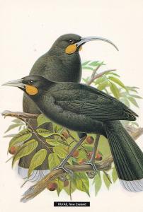 Huias New Zealand Wattle Extinct Bird Postcard