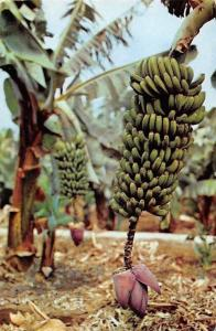 Spain Tenerife Racimo de Platanos, Bunch of Bananos