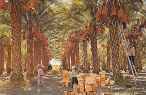 Date Harvest in Coachella Valley, Southern California, 50-70´s