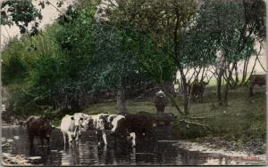 A Favorite Haunt in Alma Nebraska~Cows Hit the Creek~c1910 Postcard