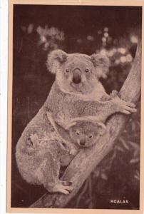Koala Bears 1950